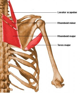 The rhomboids are muscle that connect the shoulder blade to the spine.