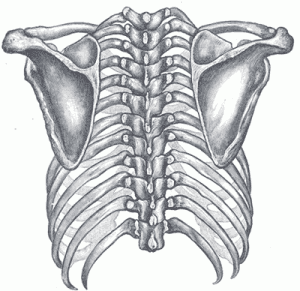 The shoulder girdle is four bones that connect to the rib cage in only one spot
