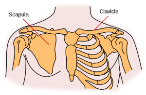 The shoulder girdle is four bones that connect to the rib cage at the clavicle and sternum