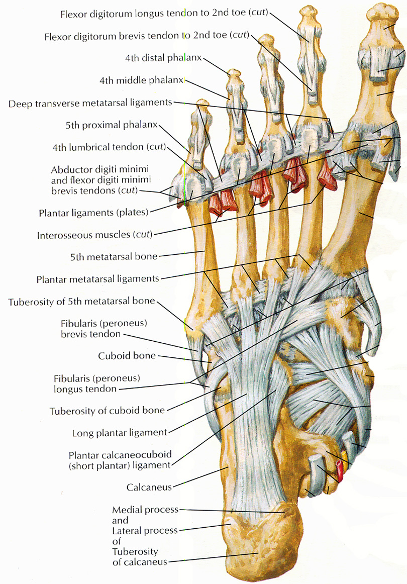 The Muscles tha... Foot Arch Muscles