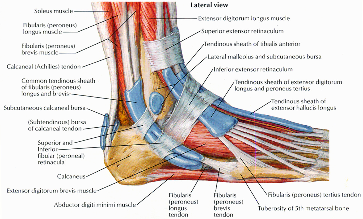 Leg Tendon Diagram