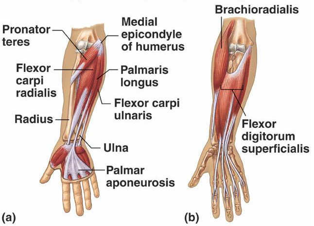 Stretch Your Tight Forearm Muscles