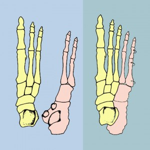 inner foot and outer foot