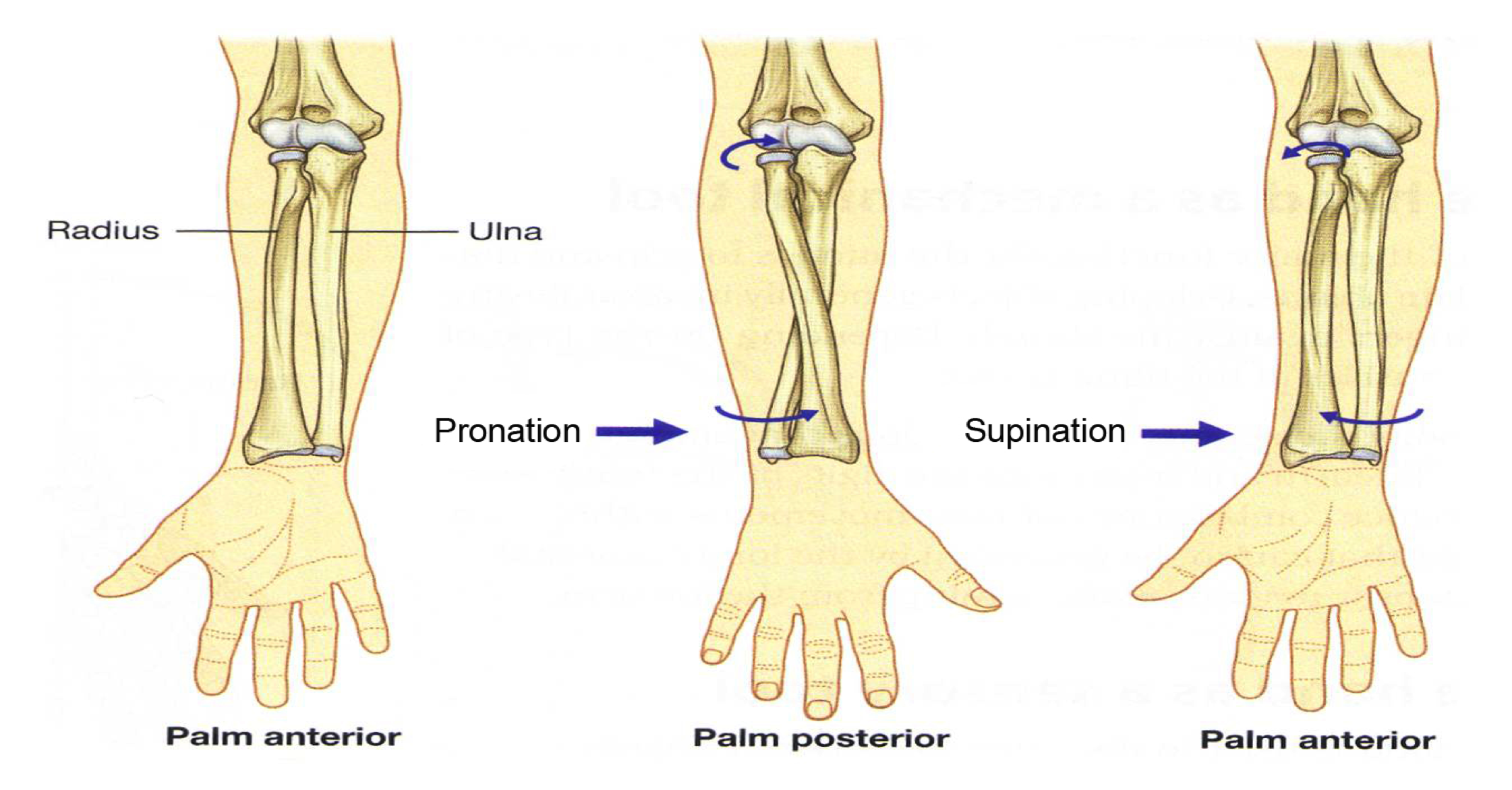 The Three Joints in the Elbow