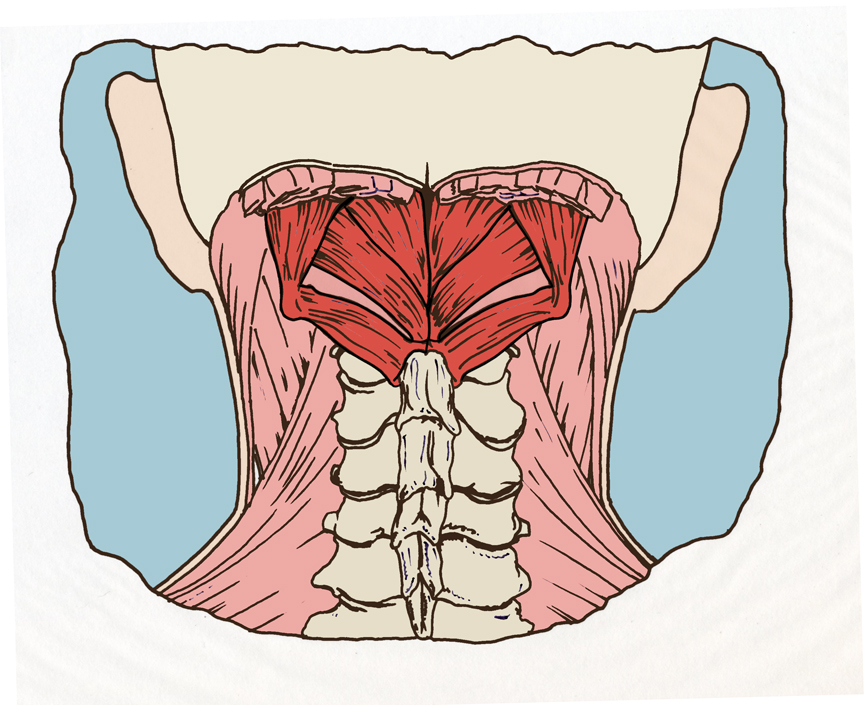 The Sub Occipital Muscles And Forward Head Posture