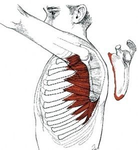 serratus anterior image