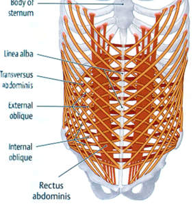 Between the pelvis and the ribcage the abdominal muscles the ccuart Image collections