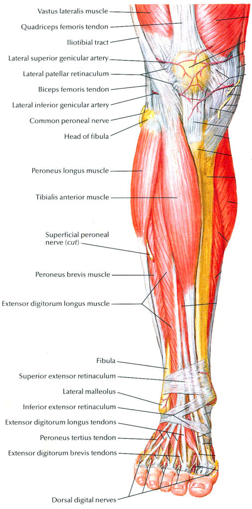 how to build front leg muscle