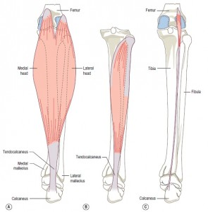 anatomy of the calf muscle2