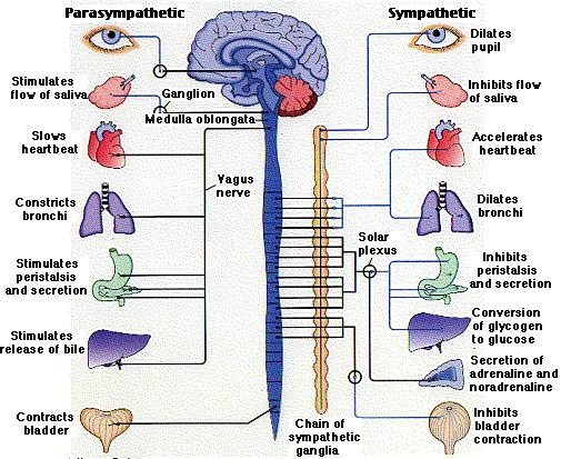 the vagus nerve, Cephalic Vein